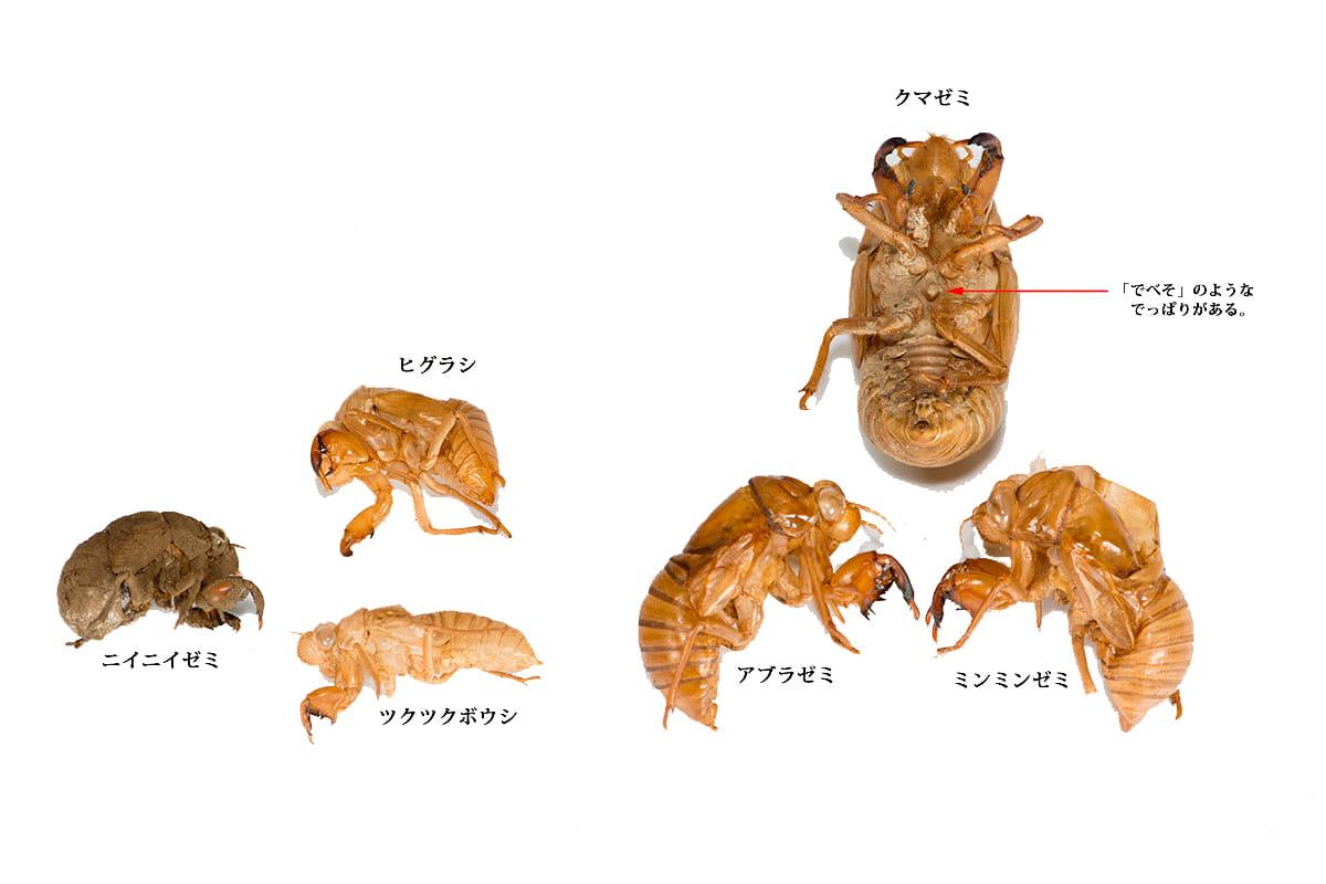 セミ の 抜け殻 種類 セミのぬけがら調査ガイド|こどもの国