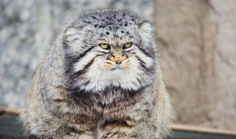 モッフモフの野生ネコ マヌルネコ