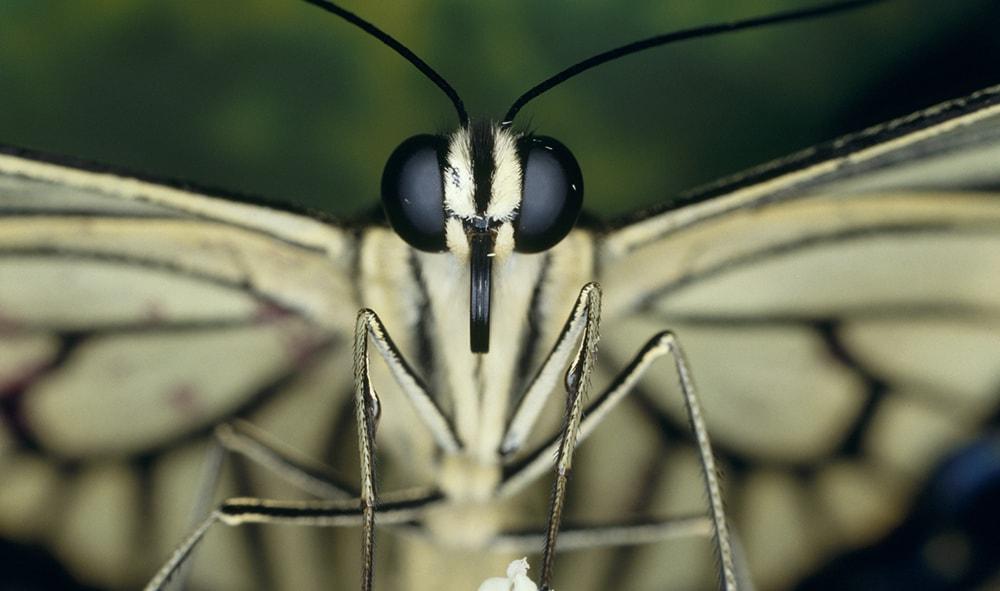 チョウは産卵場所をどう見分ける?