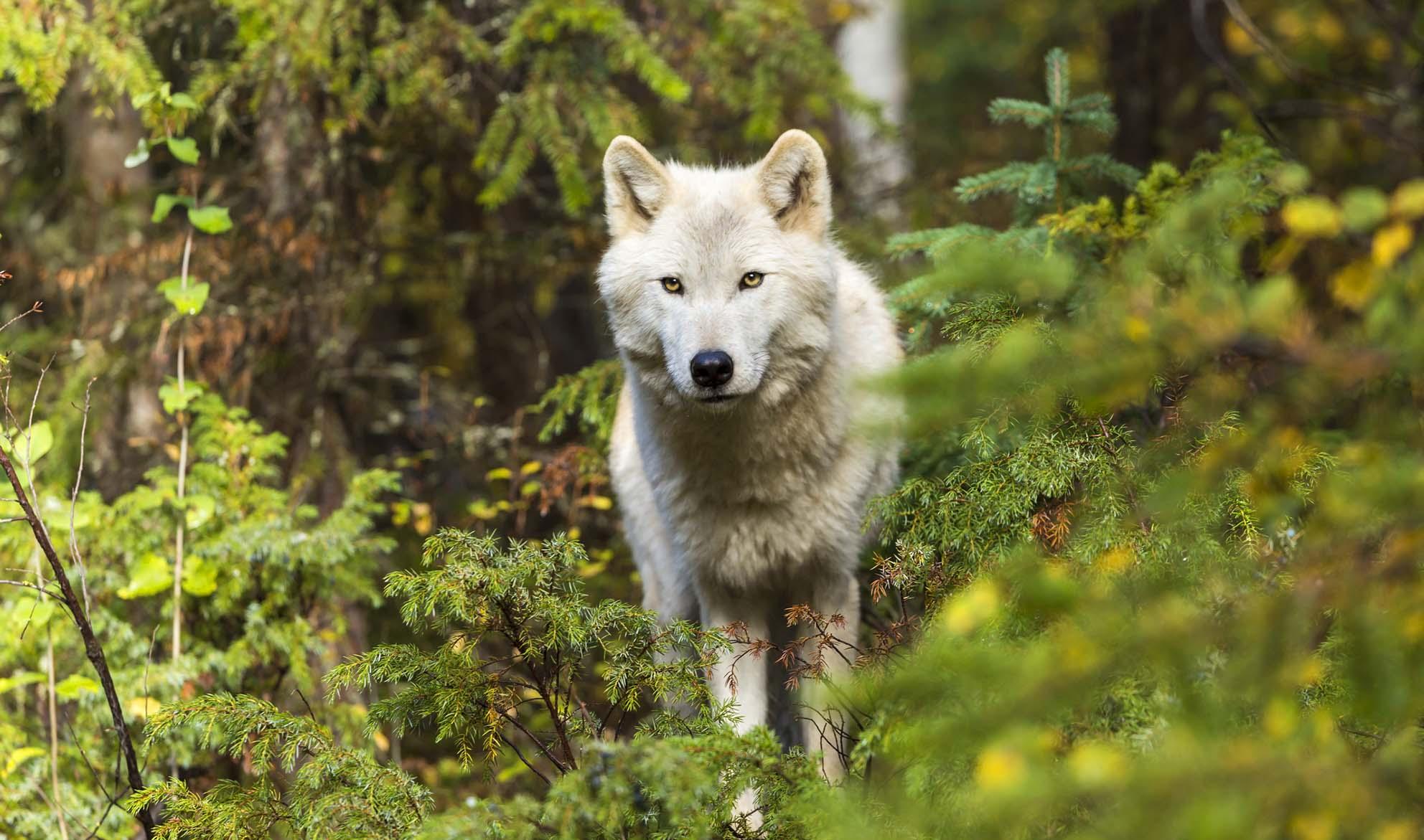 """""""一匹狼""""って本当にいるの?"""