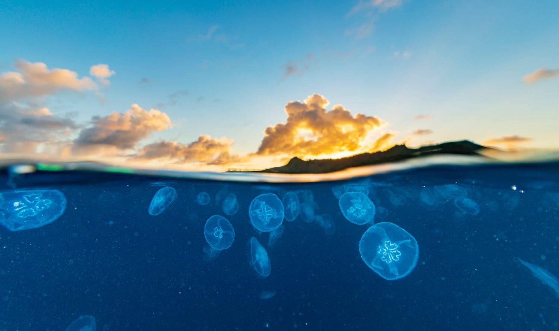 5億年の歴史をもつクラゲの神秘