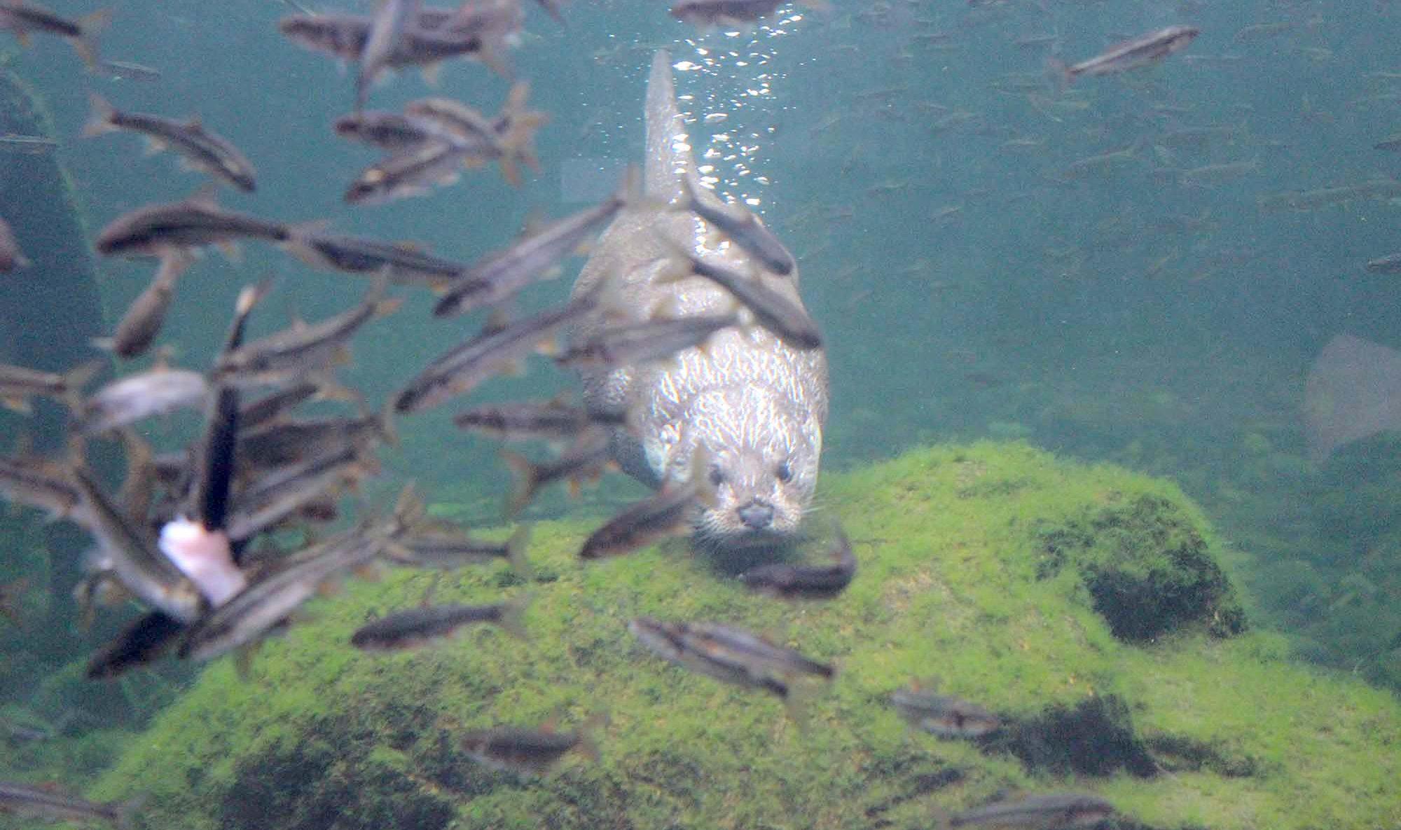 カワウソが遊ぶ自然に 思いをはせる水族館
