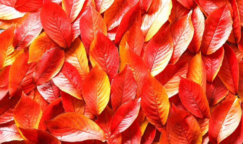 秋になると、なんで 木々は紅葉する?